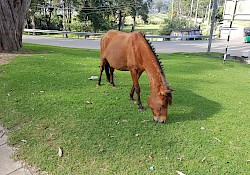 One of the many horses in Nuwara Eliya