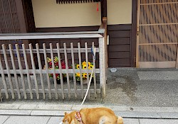 Japanese dog in a japanese street